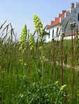 Gul Reseda (Reseda lutea)